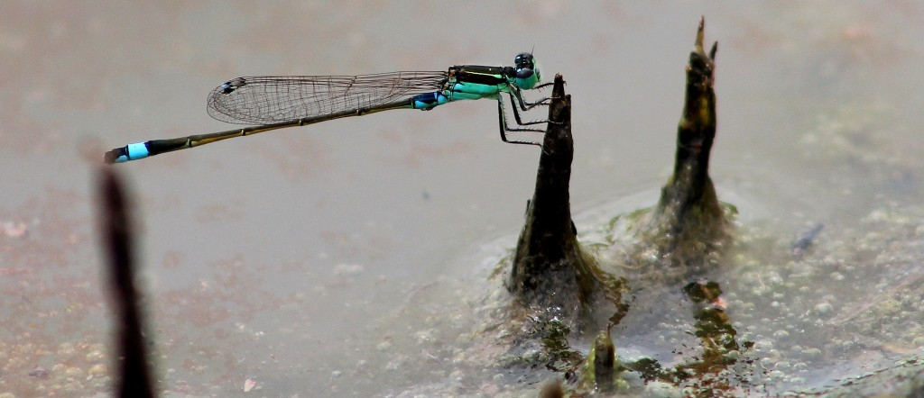 Ulovane, dragon fly
